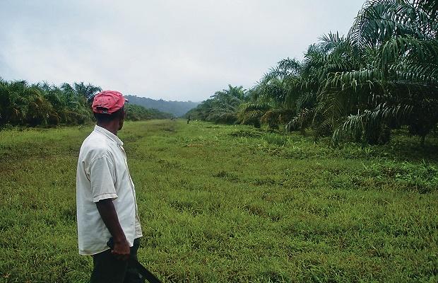 A la cárcel 16 empresarios de palma de Chocó