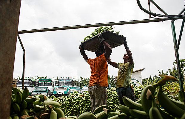 bananeros del no 7