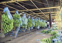 bananeros-jep-1.jpg