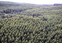 Cultivos de pino, Cartón Colombia