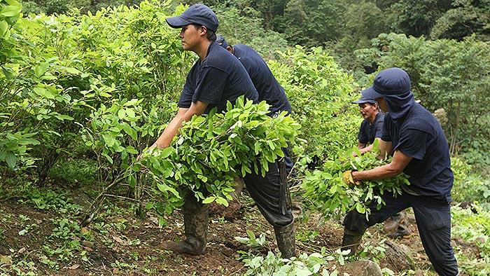 El nuevo Congreso de la República frente a los cultivadores de coca