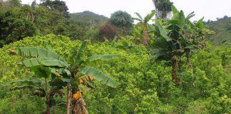 Sustitución de cultivos de coca