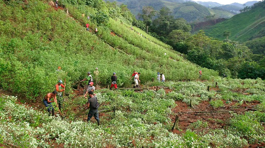 Aumento cultivos de coca en 2018